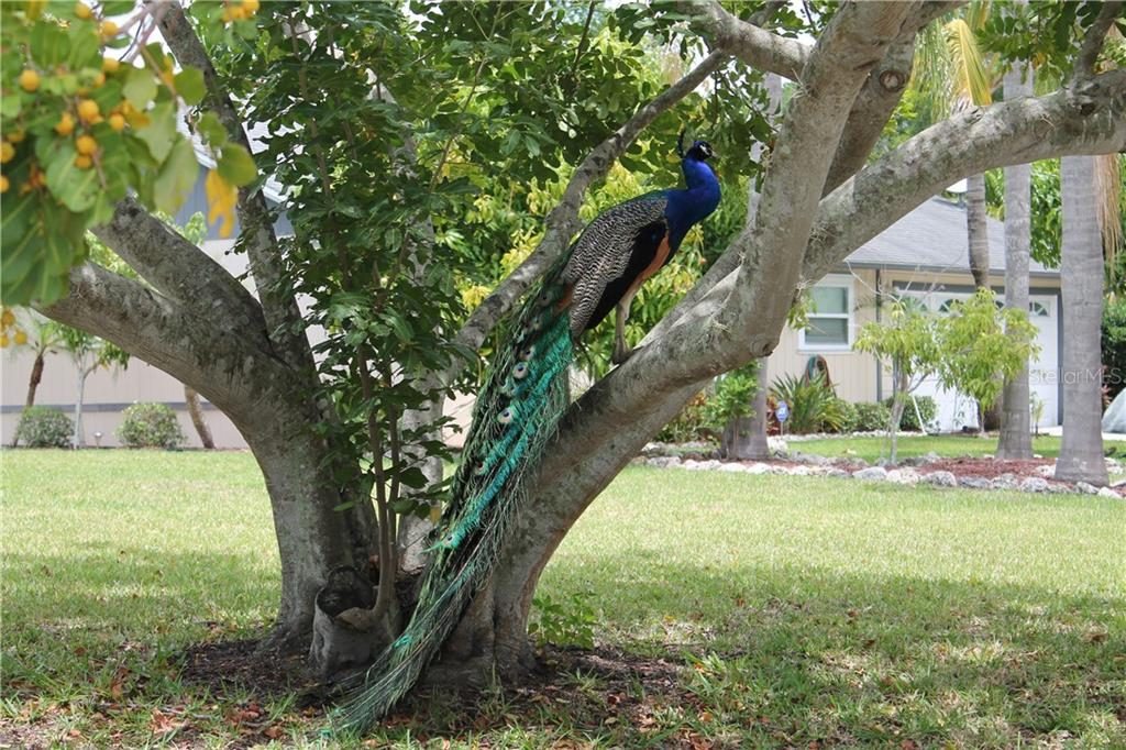 This is the local celebrity of this Glenbrooke neighborhood.  He has been living on this block for 5 years now.   A peacock symbols awakening, guidance, protection and watchfulness. - Single Family Home for sale at 4803 Glenbrooke Dr, Sarasota, FL 34243 - MLS Number is A4435920